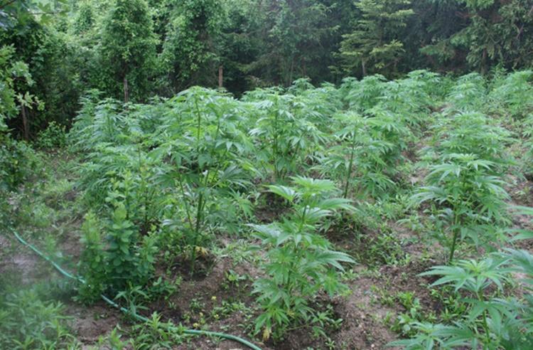 plantaza-marihuane.jpg