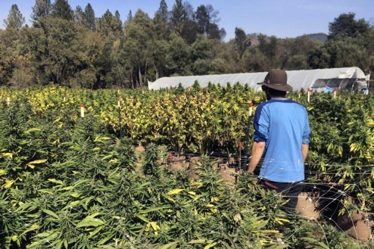 plantaze-marihuana.jpg