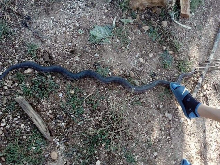 zmija-gorica (1).jpg