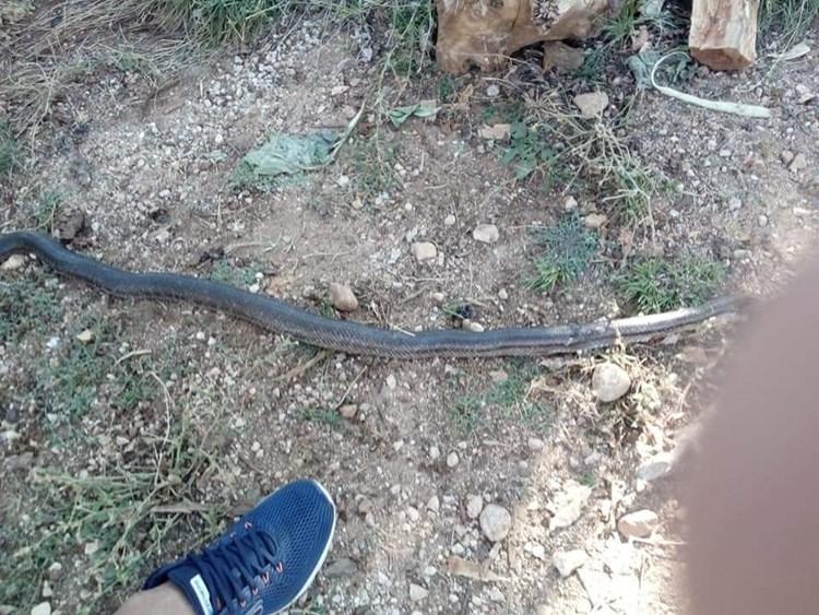 zmija-gorica (2).jpg